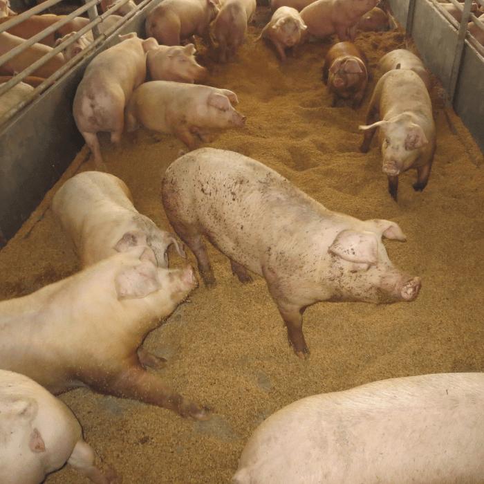 写真:豚舎の豚